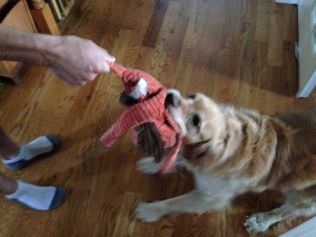 Ripley looooooves to play tug with his octopus. (We started a new bathroom and kitchenette reno this week, but know you'd much rather see pictures of the dog than an empty space.)